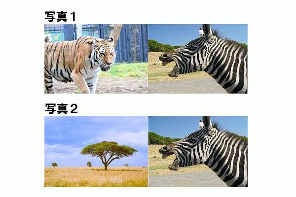トラとシマウマ画像